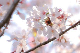 木の枝に咲くピンクの花のグループの写真・画像素材[3893348]