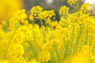 菜の花畑の写真・画像素材[3895049]