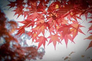 紅葉のクローズアップの写真・画像素材[3895296]