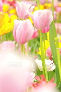 色とりどりのチューリップ畑の写真・画像素材[3941149]
