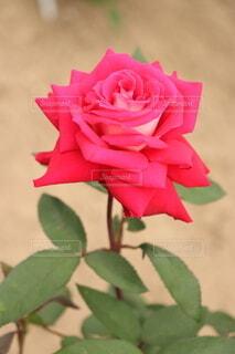 一輪の赤いバラの写真・画像素材[3964629]