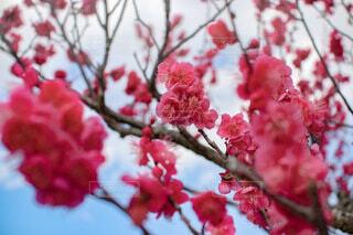 青空と梅の花の写真・画像素材[4197846]