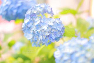 紫陽花のクローズアップの写真・画像素材[4259735]