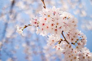 サクラの花と青空の写真・画像素材[4288461]