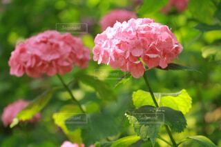 ピンクの紫陽花の写真・画像素材[4349921]