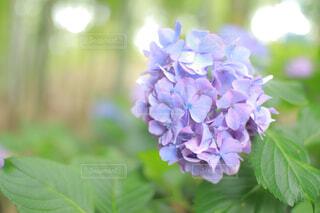 薄紫色のあじさいの写真・画像素材[4576981]