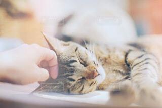 寝ている猫を触っている手の写真・画像素材[4047639]