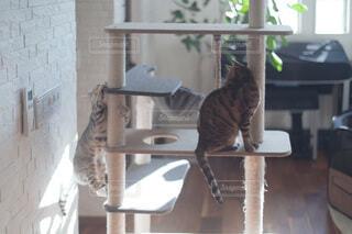 キャットタワーで遊ぶ猫の写真・画像素材[4123556]