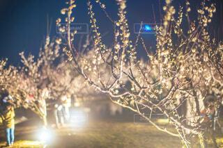 梅の花のライトアップの写真・画像素材[4213895]