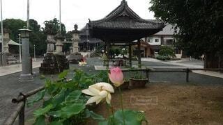 境内に咲く蓮の花の写真・画像素材[4629213]