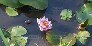 池の中で咲くピンクの睡蓮の写真・画像素材[3899835]