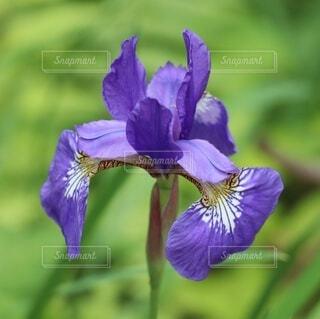 アヤメの花の写真・画像素材[4428897]