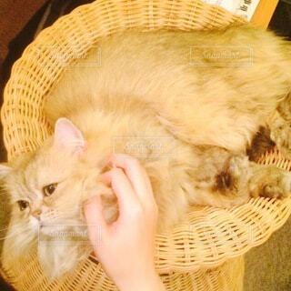 カゴの中で横たわる猫の写真・画像素材[3919162]