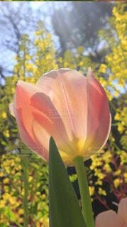 大濠公園に咲いているチューリップ。の写真・画像素材[4286116]