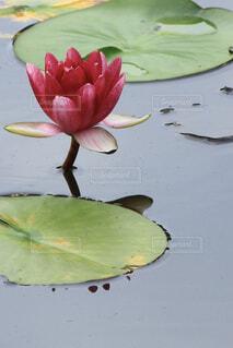 水生植物。の写真・画像素材[4525745]