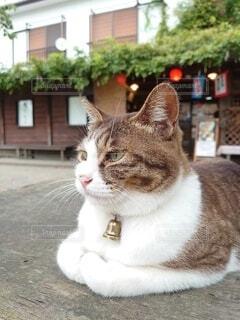 神社の団子屋にただずむ猫様の写真・画像素材[3899631]