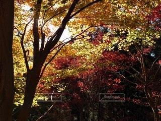 今年2020年の紅葉は美しかった!の写真・画像素材[3899690]