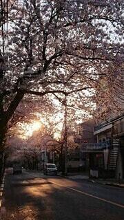 夕陽に映える桜並木の写真・画像素材[3901547]