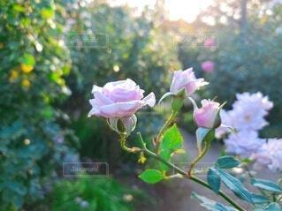 太陽に輝く可憐なバラの写真・画像素材[3903123]