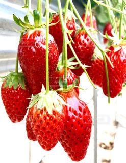 近くに赤い果実のの写真・画像素材[1122250]
