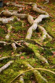 木の根の写真・画像素材[3918495]