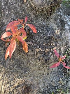 大きな木の根っこで小さな紅葉が見る事が出来ました、感謝‼️❣️の写真・画像素材[3908922]