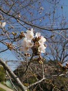 桜が咲いたの写真・画像素材[4288251]