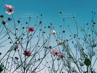 空に伸びる秋桜の写真・画像素材[3972432]