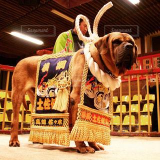 高知の土佐犬の写真・画像素材[887361]