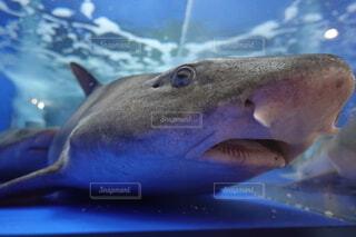 ドチザメの写真・画像素材[3946109]
