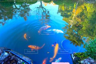 鯉の写真・画像素材[3937357]