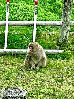 偶然遭遇した食事中の眺瞰台の猿の写真・画像素材[4450054]