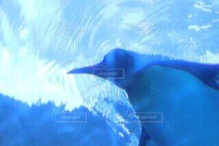 水中のペンギンの写真・画像素材[4039066]
