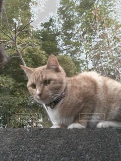 猫の写真・画像素材[165476]