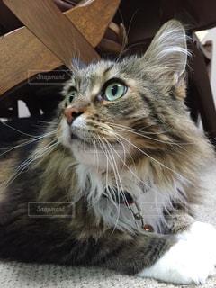 猫の写真・画像素材[166076]