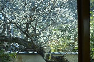 桜の写真・画像素材[166099]