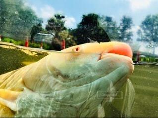 鯉の写真・画像素材[3936285]