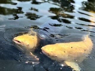 鯉の写真・画像素材[3936287]