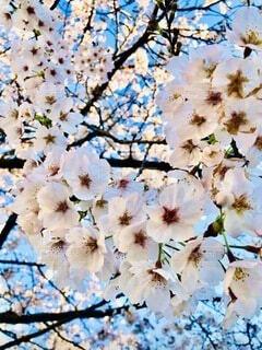 桜の写真・画像素材[3936288]