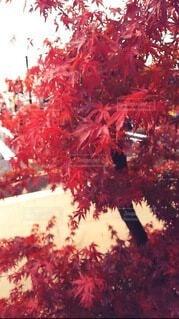 モミジ(紅葉)の写真・画像素材[3938892]