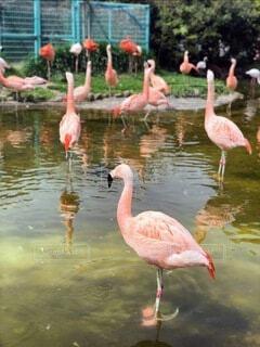 フラミンゴの群れの写真・画像素材[3938894]