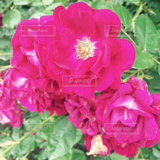 花の写真・画像素材[165696]