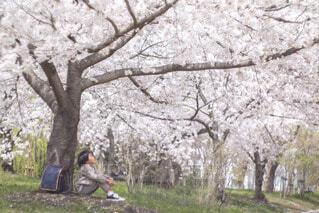 桜の木の下での写真・画像素材[4335343]