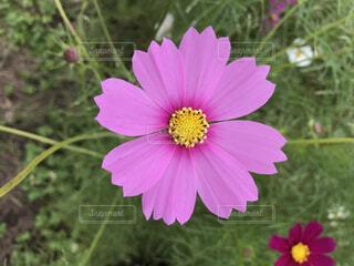 ピンクのコスモスのクローズアップの写真・画像素材[3939687]