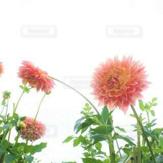 空に咲く花の写真・画像素材[3941821]