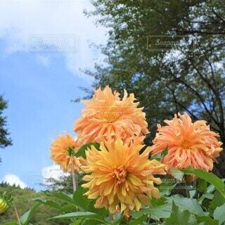 オレンジダリアの写真・画像素材[3941823]