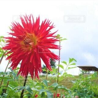 太陽の花の写真・画像素材[3941825]