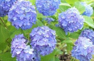 紫色の花のクローズアップの写真・画像素材[3942869]