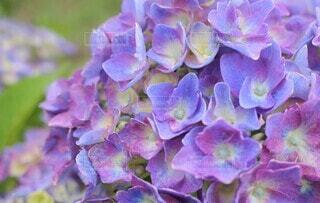紫陽花の写真・画像素材[3942945]