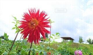 ゴージャスなダリア 花のクローズアップの写真・画像素材[3943683]